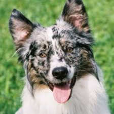 australian shepherd or border collie border collie x australian shepherd u2013 zeke feathers and fur