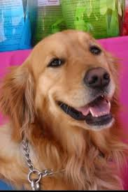 Comfort Golden Retriever Breeders 212 Best K9 Comfort Dogs Images On Pinterest Therapy Dogs