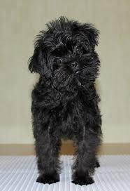 affenpinscher breeders texas 57 best affenpinscher miniature pinscher germany images on