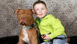 american pitbull terrier book never judge a book by its cover u0027 lesson learned from life saving
