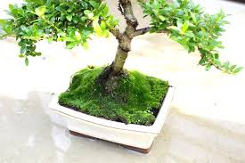 watering bonsai how to water your trees bonsai empire