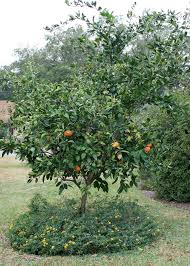 mississippi gardens can produce fresh citrus fruit mississippi