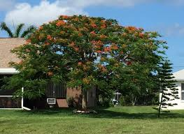 cape coral trees