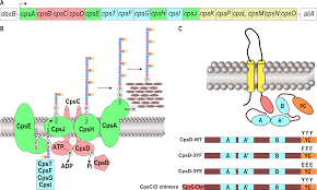 autophosphorylation of the bacterial tyrosine kinase cpsd connects