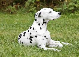 australian shepherd dalmatian mix australian cattle dogs australian cattle dog breed info