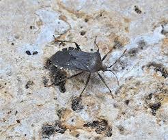 Garden Pests Identification - fall pest patrol work now to foil deer cabbage worms viburnum