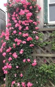 93 best landscaping with roses images on pinterest garden ideas