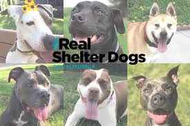 american pitbull terrier qualities dogs available for adoption through dallas pets alive unleashed