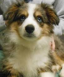 1 year old toy australian shepherd the aussie weekly 57 u2014 the weekly special feature for australian