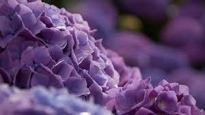 Purple Hydrangea Purple Hydrangea Wallpaper