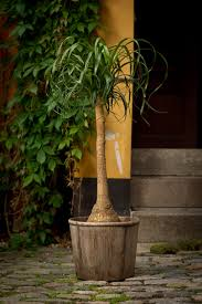 Plants That Dont Need Sunlight by Ponytail Palm Care U2013 How To Grow Beaucarnea Recurvata