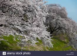 white cherry blossom white cherry blossom in bloom two trees on a