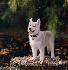 siberian husky puppies wallpaper nat geo adventure animals