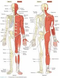 Anatomy And Physiology Midterm Exam Midterm Exam I Assessment Of Musculoskeletal System