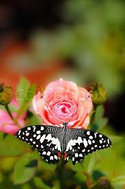 beautiful spotted butterfly on a pink flower stock photo