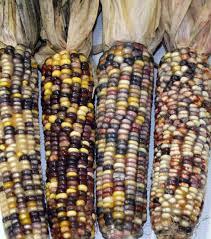 ornamental corn broomcorn center for crop diversification