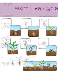collections of plant life cycle printables bridal catalog