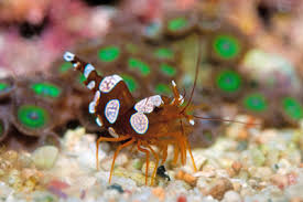 keeping shrimp article saltwater reef feature