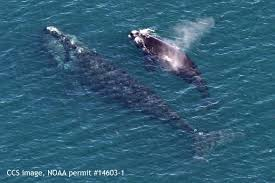grim u0027 status of right whales to be discussed saturday in wellfleet