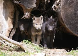 Oregon wildlife images Take action for oregon 39 s wolves this year oregon wild jpg