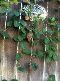 plantfiles pictures madagascar jasmine bridal wreath bridal