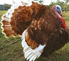 a heritage turkey for thanksgiving