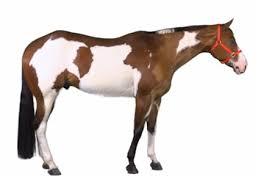 colour patterns u2013 paint horse association of new zealand