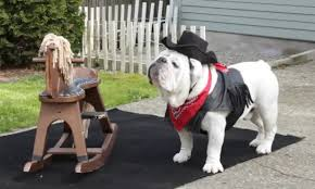 trending watch just a cowboy bulldog riding a rocking horse and