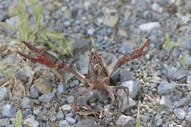crayfish control for the lawn yard and garden