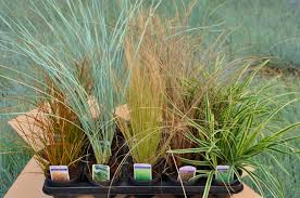 colourful evergreen grasses for winter display pots and containers