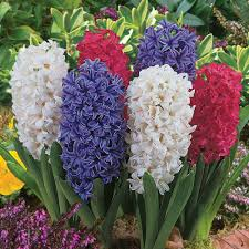 hyacinth flower the flowers of easter roanoke landscapes