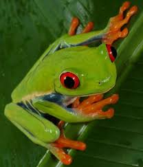 green frogs pictures and facts factzoo com