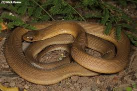 english pattern snake guides snakes of durban a photographic guide kwazulu natal amphibian