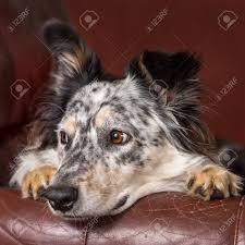 australian shepherd and border collie border collie australian shepherd dog on brown leather couch