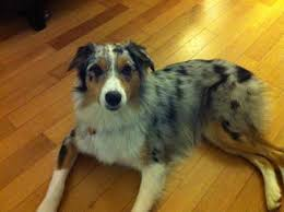 australian shepherd kid friendly over protective female australian shepherd
