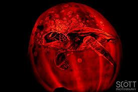 turtle pumpkin carving jack o lantern spectacular 2014 scott