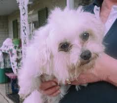 8 year old australian shepherd the st louis senior dog project