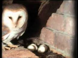 Where Does The Barn Owl Live The Private Life Of The Barn Owl Youtube
