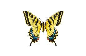 tiger swallowtail butterfly paintable project digital