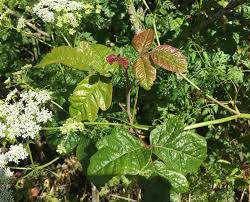 pictures poison oak eechee itch relief treatment