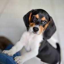 Dogs For The Blind Jobs Beagle Dog Breed Information Pictures Characteristics U0026 Facts