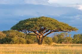 acacia tree britannica