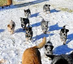 australian shepherd queensland interview gwen shepperson australian cattle dog breeder