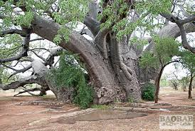 sagole big tree in venda baobab