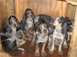 bluetick coonhound rescue nc black and tan coonhound puppies for sale