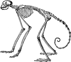 side view of skeleton of south american spider monkey clipart etc