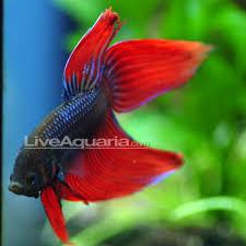 tropical fish for freshwater aquariums betta