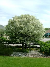 Profusion Flowering Crabapple - find plants page 35 wholesale nursery supplies u0026 plant growers