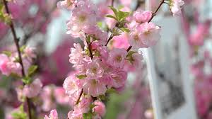 spring flowers 1 cherry blossom video background hd 1080p