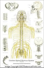 Dog Anatomy Poster Spinal Nerves And Subluxations Poster 24 X 36